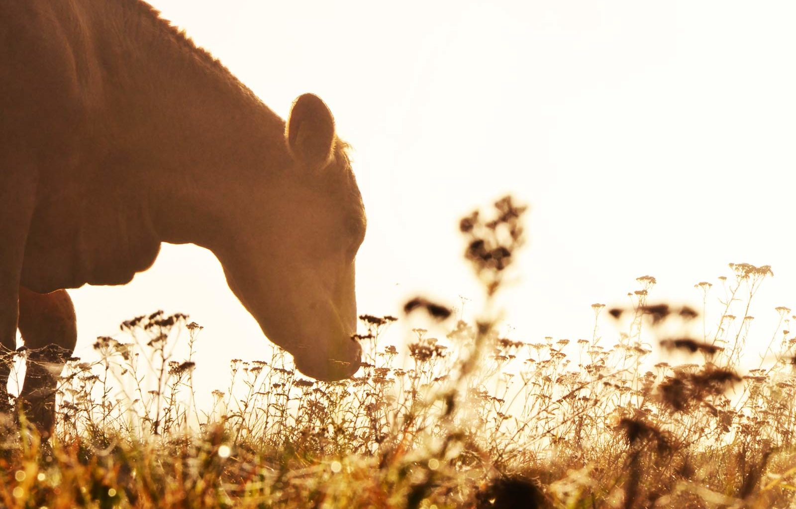 Puerperalna pareza kod goveda