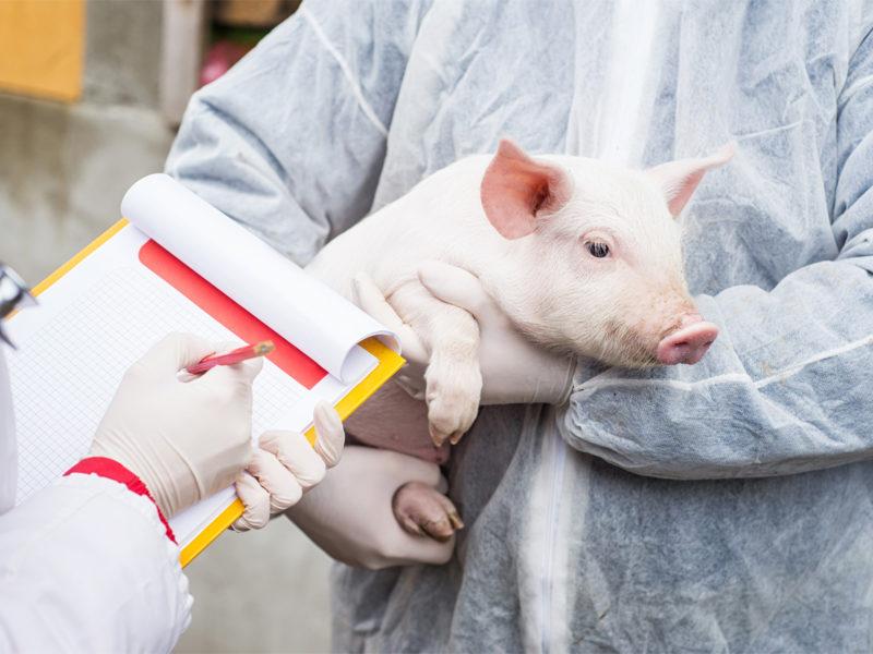 Klasična kuga svinja – uzroci, simptomi i liječenje