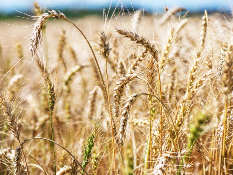 Značaj strnih žitarica u ishrani domaćih životinja