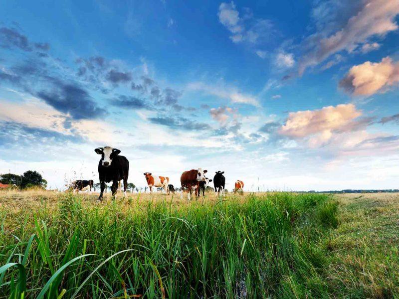 Edem vimena kod krave