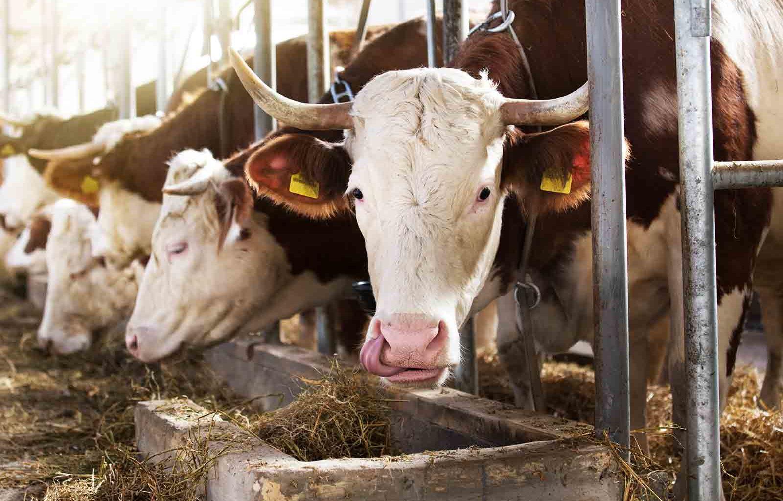 Značaj vitamina A, D i E u ishrani goveda