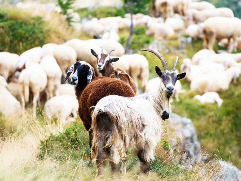 Zarazna agalakcija ovaca i koza