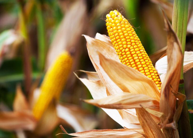 Berba ranog kukuruza – šta treba znati