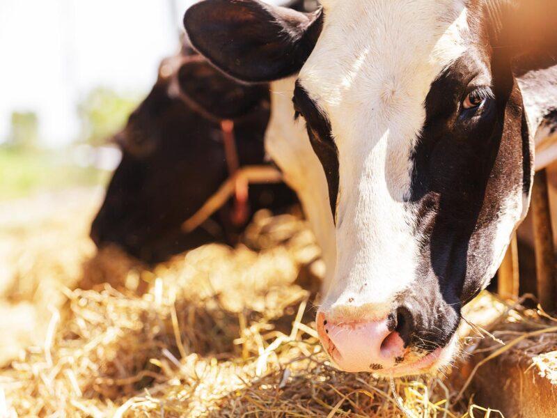 Prelazak stoke sa svježe na suhu hranu – korisni savjeti